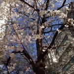 【ブログ】春ですね、桜が咲いています。